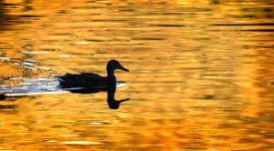 duck-sil